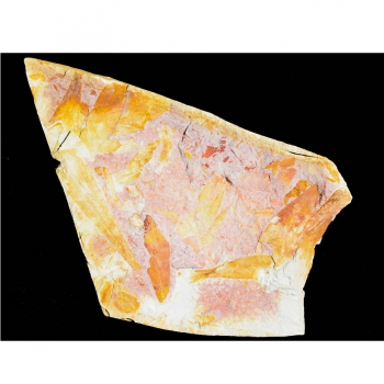 Glossopteris Sp.