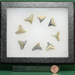 Fossil Shark Teeth Collection