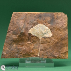 Fossil Gingko-Leaf