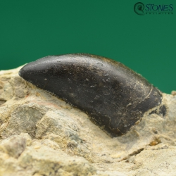 https://www.stonesunlimited.de/components/com_jshopping/files/img_products/thumb_Marshosaurus-Zahn-FD1020__6_.jpg